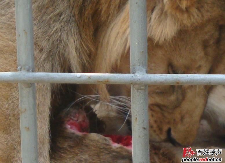 【记者调查】后续:近亲繁殖导致狮子胆小狂躁  湘潭在线2月11日讯(文/图 记者 吴珊) 去年12月29日,本网曾报道了和平公园动物园的一头雄狮自残的情况。如今一个多月过去了,狮子的伤情恢复如何呢?2月10日上午,我们赶往和平公园一探究竟。   狮子自残源于近亲繁殖   在和平公园非洲狮馆内,这头雄狮居然被鞭炮声吓得蜷缩在笼子的一角,完全没有了万兽之王的气势。动物园副园长潘晓狄告诉我们,因为是近亲繁殖,这头狮子胆小却又狂躁,骨骼发育也有明显的缺陷。当狮子站起来走动时,我们发现它根本无法正常行走,而是一