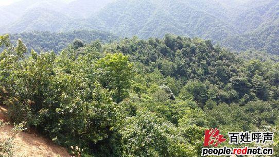 数万亩速生林不见了,取而代之的是漫山的杂木林